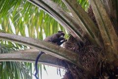 Flinkes Seidenäffchen, das geht, auf dem Baum (die Republik Kongo) zu essen Stockbilder