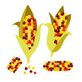 Flint or calico corn vector illustration. Maize ear cob. Stock Photo