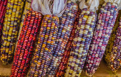 Flint Corn Royalty Free Stock Photos