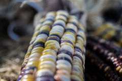 Flint Corn or Indian Corn close up Stock Photos