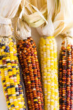 Flint corn Royalty Free Stock Images