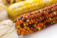 Flint corn Royalty Free Stock Photo