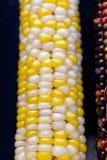 Flint corn Stock Image