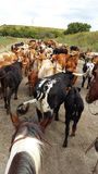 Flint Hills Cattle Drive. Moving longhorns through the Flint Hills Royalty Free Stock Photos