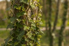 Flint, North Walses, the trees covered in ivy. This image shows some tree trunks covered in ivy. It was taken in Flint, North Wales on a sunny day in April 2018 royalty free stock photography