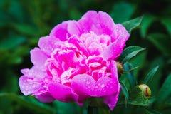 Fliower rose de pivoine sur le fond de nature, fleur de pivoine dans le jardin après pluie Photographie stock
