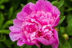 Fliower rose de pivoine sur le fond de nature, fleur de pivoine dans le jardin après pluie Photo libre de droits
