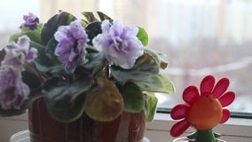 Flip flap red colorful flower swinging near close up of blurred purple violet flower in pot by the window stock footage