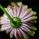 Flip Side. A butterfly free resting on the back of a daisy Royalty Free Stock Images
