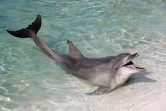 Flipper Royalty Free Stock Image
