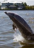 Flipper. Dolphin following boat in intercostal waterway royalty free stock photo