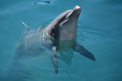 Flipper and the dolphin show Royalty Free Stock Photo