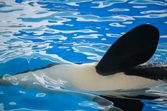 Flipper of a killer whale. Close up of a flipper of an orca, a killer whale royalty free stock image