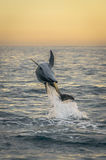 Flipping dolphin at sunrise Royalty Free Stock Photos