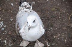 Flirciarski seagull Fotografia Royalty Free