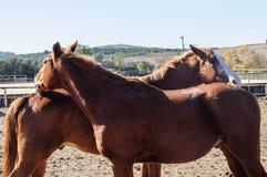 Flirt et jeu de deux chevaux Images stock