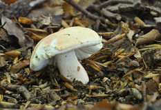The Flirt fungus - Russula vesca. The Flirt fungus on Beech wood floor - Russula vesca stock photography