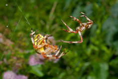 Flirtation of spiders 11 Stock Photo