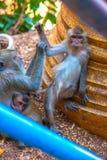 Flirtender Affe, Thailand Stockfotos