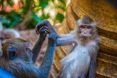 Flirtender Affe, Thailand Lizenzfreie Stockfotos