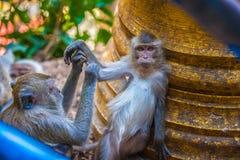 Flirtender Affe, Thailand Lizenzfreie Stockbilder