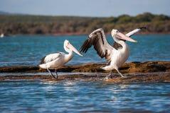 Flirting птицы стоковая фотография rf