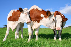 The flirting cows Royalty Free Stock Image