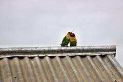 flirting Love Birds Stock Photo