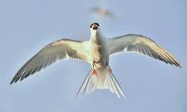 Flit Tern. Stock Photo