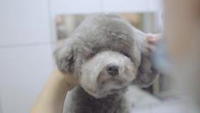 Flitiga hårkammar för husdjurgroomerhand och litet grått hundhår för snitt med sax i groomerssalongen som rymmer upp hans halsslu arkivfilmer