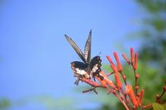 Flitting γιγαντιαία πεταλούδα Swallowtail σε εγκαταστάσεις Στοκ Εικόνα