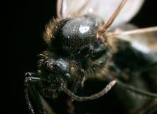 Fliying ant supermacro shot Royalty Free Stock Photography