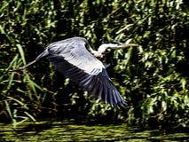 Fliyng grande de Gray Heron Imagen de archivo libre de regalías