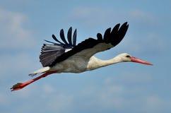 Fliyng stork royaltyfri bild
