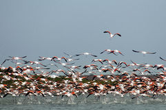 Fllock of Flamingos,  in flight. Royalty Free Stock Photo