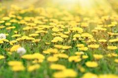 Fllowering som blommar dandelinblommor i äng, härlig natur i vår arkivfoton