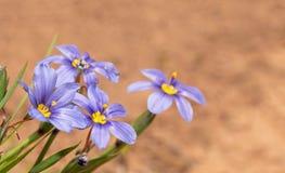 Fllowers de la hierba de ojos azules contra poner en contraste el fondo rojo de la suciedad fotografía de archivo