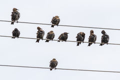 The floak of starlings Royalty Free Stock Image