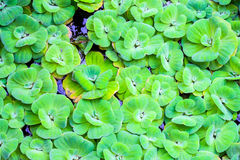 Float Water lettuec Royalty Free Stock Photos