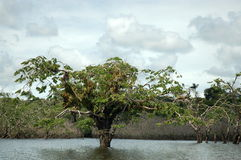 Floated trees, Ecuador. Royalty Free Stock Photography