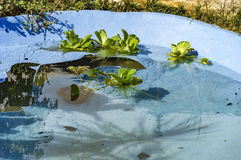 Floater plants in water Stock Photo