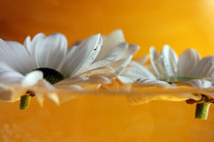 Floating. White daisies floating on a water with an orange background Royalty Free Stock Photo