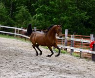 Floating. Arabian Stallion being shown a Liberty Stock Photos