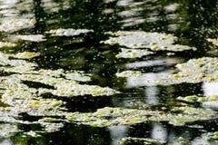 Floating algae in a stagnant pond. Green floating algae in a stagnant pond Royalty Free Stock Images