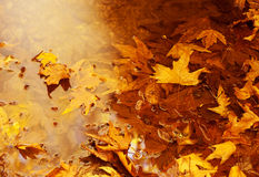 Floating autumn leaves Stock Photos