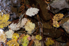 Floating autumn leaves. Royalty Free Stock Photography