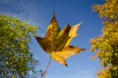 Floating autumn maple leaf against blue sky. Detail of a floating vivid autumn colourful maple leaf against blue sky and tree-tops royalty free stock image
