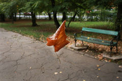 Floating autumn maple leaf in the park Royalty Free Stock Image