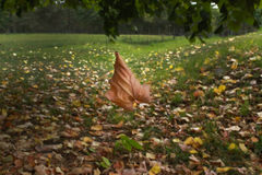 Floating autumn maple leaf in the park Royalty Free Stock Photos