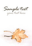 Floating autumn maple leaf Royalty Free Stock Image